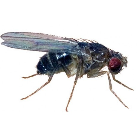 Black Fruit Fly (D. hydei) Std.Size